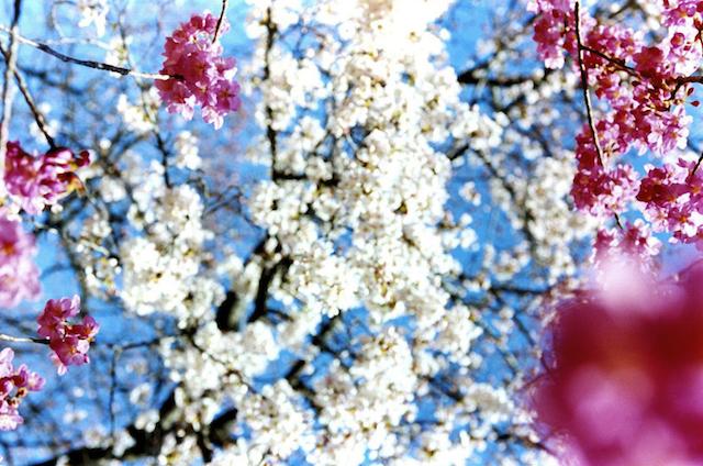 Test Pressing, Just Because, Dr Rob, Mika Ninagawa, Sakura, Hanami, Cherry Blossom, Tokyo, Japan, Photography, Art